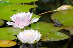 在莲花的青蛙 免版税图库摄影