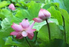 在莲花的蜻蜓 免版税库存图片