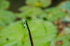 在莲花的蜻蜓 库存照片