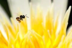在莲花花粉的无刺的蜂飞行 免版税库存图片