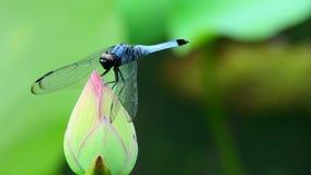 在莲花芽的蓝色蜻蜓 图库摄影