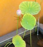 在莲花芽的蜻蜓中止 库存图片