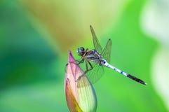在莲花芽的蜻蜓 库存照片