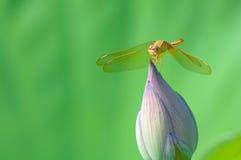 在莲花芽的蜻蜓 免版税库存图片