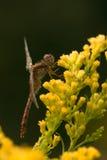 在菊科植物的一只杂色的meadowhawk蜻蜓 免版税库存图片
