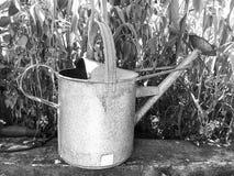在菜园生长玉米玉米旁边的金属喷壶在背景中 免版税库存照片