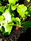 在菜园的萝卜 免版税库存照片