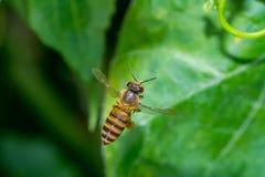 在菜领域的一只飞行蜜蜂 免版税库存图片