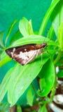 在菠菜叶子的美丽的蝴蝶飞蛾 库存图片