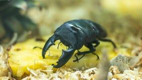 在菠萝的黑甲虫 库存图片