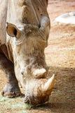 在菲尼斯动物园的特写镜头新的犀牛 图库摄影