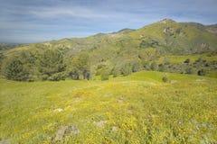 在菲格罗亚山绿色春天小山的明亮的黄色花在圣塔内斯和Los Olivos,加州附近的 免版税库存照片