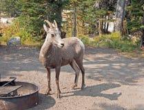 在营地的成人大角野绵羊在两Medicines湖地区在冰川国家公园在蒙大拿美国 库存照片