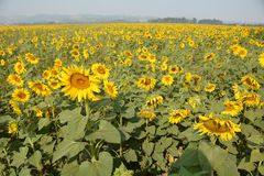 在萨利姆,俄勒冈西部的大向日葵领域 库存照片