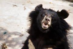 在萨穆特Prakan鳄鱼农场和动物园, Thail的亚洲黑熊 免版税图库摄影