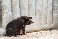 在萨穆特Prakan鳄鱼农场和动物园, Thail的亚洲黑熊 免版税库存照片