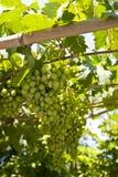 在萨莫斯岛的葡萄树 库存图片