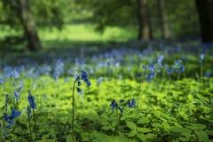 在萨里太阳的会开蓝色钟形花的草 免版税库存图片