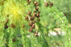 在落叶松属分支的杉木锥体在一个夏天 库存照片
