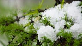 在落叶松属分支的雪 免版税库存图片