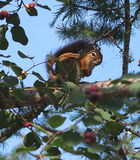 在落叶松属树的红松鼠 图库摄影