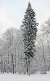 在落叶树附近的冷杉木在冬天 免版税图库摄影