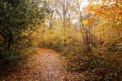 在落叶wooldnad的霍莉灌木 免版税图库摄影