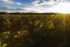 在落日下的向日葵 免版税库存图片