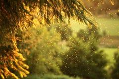 在落日的云杉的分支 库存照片