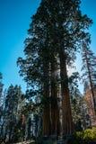 在落日的光芒的三棵巨型红木在美洲杉国家公园,加利福尼亚,美国的 库存照片