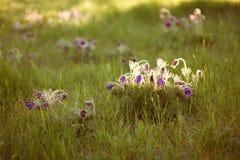 在落日的光芒的紫色毛茸的花 图库摄影