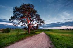 在落日的杉木在路 免版税库存图片