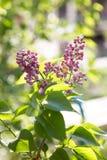 在落日的淡紫色紫罗兰 免版税库存照片