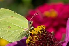 在落日的硫磺蝴蝶 免版税图库摄影