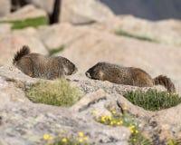 在落矶山脉的土拨鼠 图库摄影