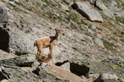 在落矶山脉的石头的幼小高地山羊在大帕拉迪索山国立公园动物区系野生生物的 免版税库存图片