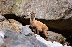 在落矶山脉的石头的幼小高地山羊在大帕拉迪索山国立公园动物区系野生生物的 免版税库存照片