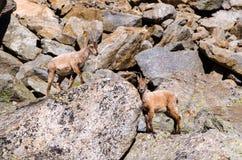 在落矶山脉的石头的幼小高地山羊在大帕拉迪索山国立公园动物区系野生生物的 库存图片