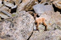 在落矶山脉的石头的幼小高地山羊在大帕拉迪索山国立公园动物区系野生生物的 库存照片