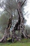在著名Olivewood -不可思议的形状(黑山,乌尔齐尼,冬天) 免版税图库摄影