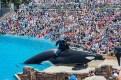 在著名SeaWorld的虎鲸展示 库存照片