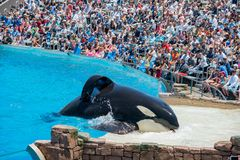 在著名SeaWorld的虎鲸展示 免版税图库摄影
