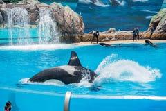 在著名SeaWorld的虎鲸展示 图库摄影