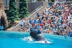 在著名SeaWorld的虎鲸展示 免版税库存图片