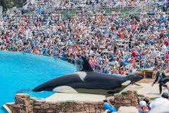 在著名SeaWorld的虎鲸展示 库存图片
