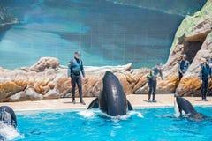 在著名SeaWorld的虎鲸展示 免版税库存照片