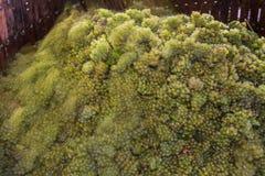 在葡萄压榨机的夏敦埃白酒葡萄 库存图片