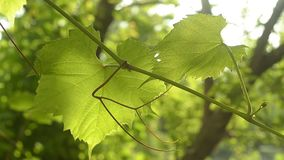 在葡萄叶子的慢动作的特写镜头在风摇摆在阳光下 股票视频