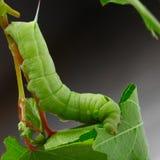 在葡萄叶子的毛虫。 免版税库存照片