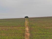 在葡萄园中间的孤立树 库存图片
